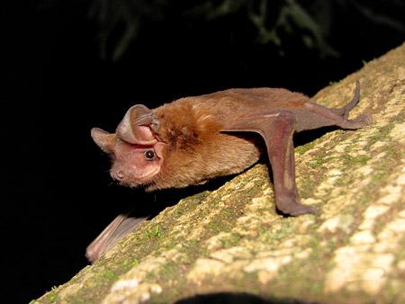 Murciélago Eumops