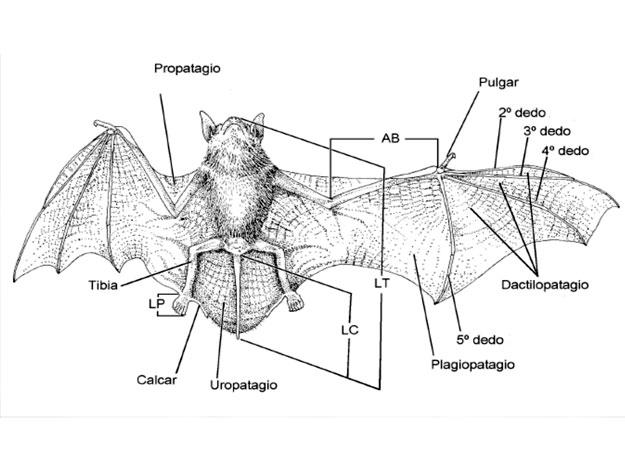 Murciélago croquis